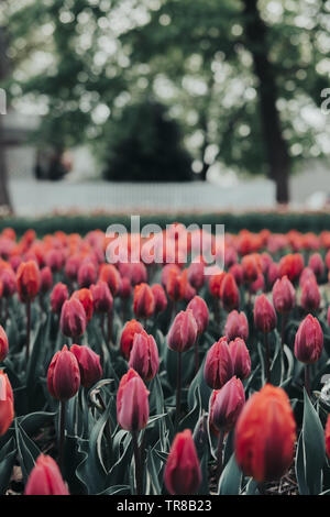 Close up of beautiful tulip flowers in tulip field with a blurred background of fence and trees. Blooming tulips. Tulip Festival in Pella, Iowa. - Stock Photo