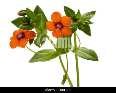 Foliage and red-orange flowers of the annual garden weed, Scarlet Pimpernel, Anagallis arvensis - Stock Photo