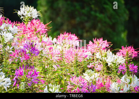 Flowes field of pink and white spider flower / Cleome hassleriana - Stock Photo