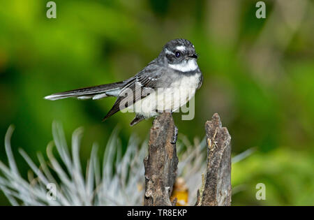 Australian Grey Fantail, Rhipidura albiscapa, with alert expression, perched on tree stump against bright green background - Stock Photo