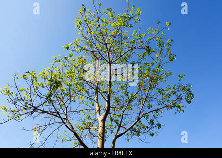 tree branch on blue sky background in the summer - Stock Photo