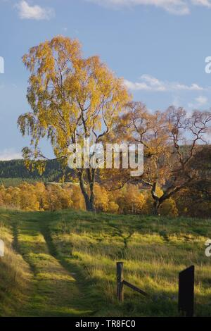 Golden Autumn Foliage of Silver Birch Woodland (Betula pendula) against a Blue Sky. Muir of Dinnet NNR, Cairngorms, Scotland, UK. - Stock Photo