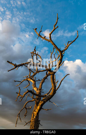 The bare branches of a dead tree contrasted against beautiful sky of dramatic clouds at sunset - Sangre de Cristo Mountains near Santa Fe, New Mexico - Stock Photo