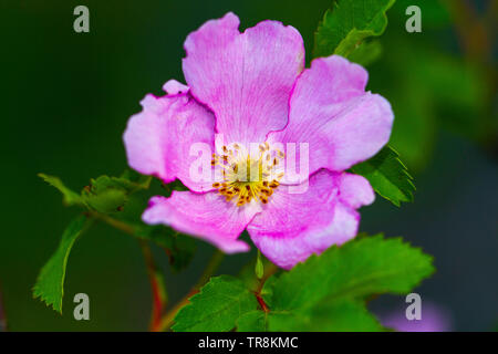 Closeup of Dog Rose (Rosa canina) Flower - Stock Photo