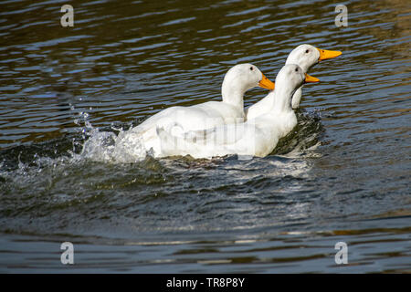 Two males trying to mate with and chasing a female Pekin Duck (also know as American Pekin, Long Island or Aylesbury duck) - Stock Photo