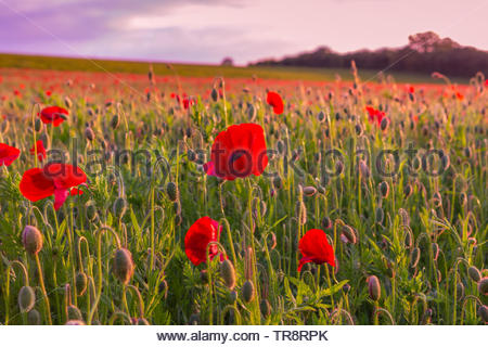 Dean Village, Hampshire, UK. 30th May 2019. Poppy field outside of the Deane Village near to Basingstoke in Hampshire, UK. - Stock Photo