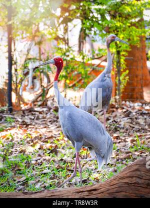 Bird of gruidae sarus crane in the wildlife sanctuary / Grus antigone - Stock Photo