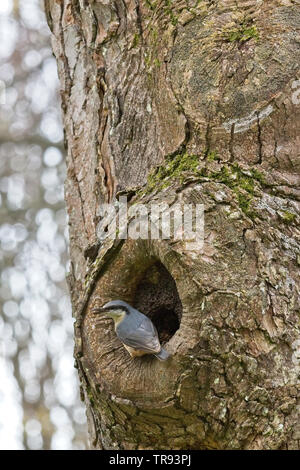 Eurasian Nuthatch (Sitta europaea) at a nest hole with a beak full of mud, Penzance, Cornwall, UK. - Stock Photo