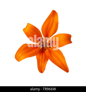 lilium lily flower orange color isolated on white clipping path included - Stock Photo