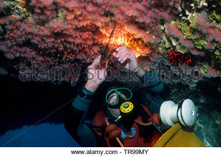 Coral diver breaking Red Corals (Corallium rubrum), at the reef, Marseillie, South France, France - Stock Photo