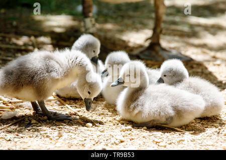 Family of mute swan cygnets - Stock Photo