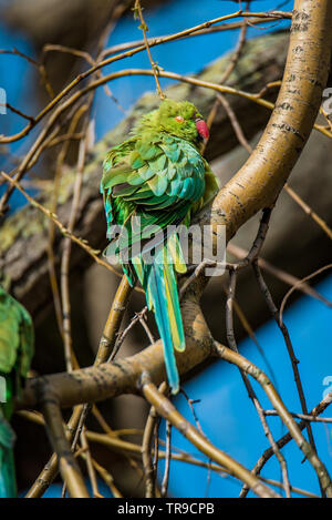 Wild rose-ringed or ring-necked parakeet sunbathing in Vondelpark, Amsterdam, in the warm early spring sun. Beautiful, colorful blue and green feather - Stock Photo