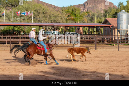 Weekly rodeo at White Stallion Ranch, a dude ranch outside Tucson, AZ. Here riders take part in team penning, a sometimes rough timed event where  a t - Stock Photo