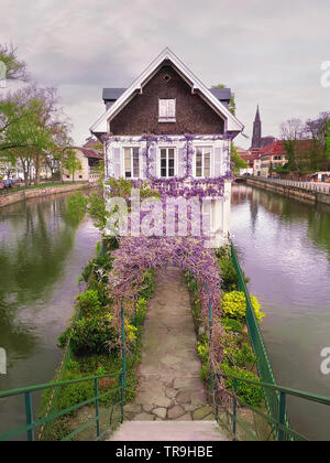 Wonderful purple flowering blue moon wine wisteria covering an arched arbor leading to an old house on a canal island in Petite France, Strasbourg, Al - Stock Photo