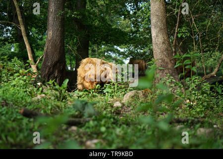 Scottish Longhorn cattle in the pasture near a creek in Germany - Stock Photo