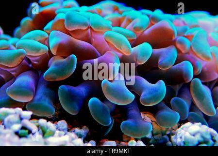 Euphyllia LPS coral in close up shot in reef aquarium - Stock Photo