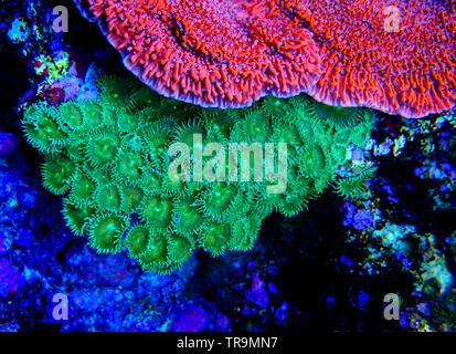 Green Toxic Parazoanthus colony in coral reef aquarium - Stock Photo