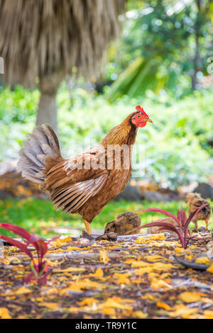 A mother hen on high alert, standing guard while her nearby chicks search for food. - Stock Photo