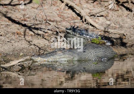 Large saltwater crocodile, resting on the bank of Yellow Water billabong, Kakadu, Northern Territory, Australia - Stock Photo