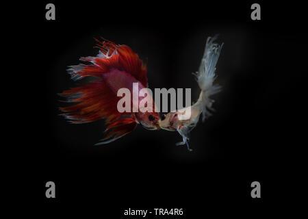 fish fighting on black background, focus mount fish, - Stock Photo