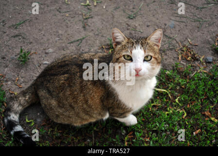White and brown spotted Cyprus cat breed sitting and looking on grass, top view - Stock Photo