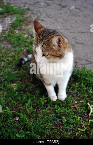White and brown spotted Cyprus cat breed sitting on grass, top view - Stock Photo