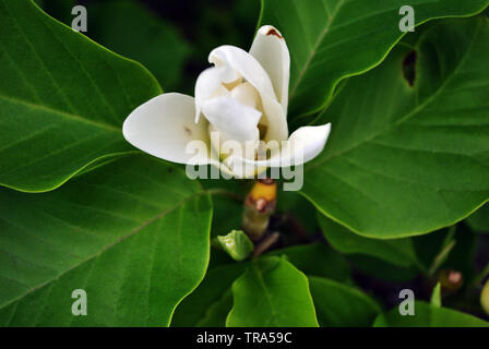 White magnolia soulangeana (saucer magnolia) flower, close up detail top view, soft dark green blurry leaves background - Stock Photo