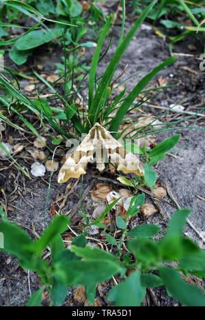 Mimas tiliae (lime hawk-moth) sitting on grass, blurry ground background - Stock Photo