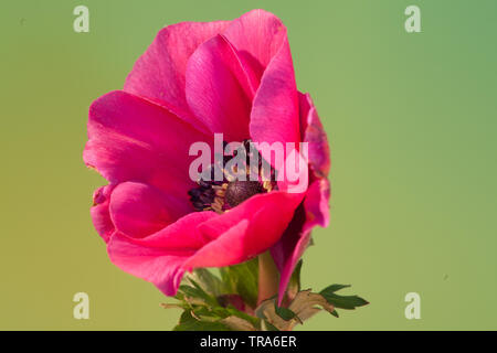 an isolated anemone blossom with green background - Stock Photo
