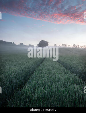 A lone tree in a green wheat field on a misty morning - Stock Photo