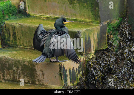 Shag [Phalacrocorax aristotelis] on a step - Scarborough Harbour, North Yorkshire, UK - Stock Photo