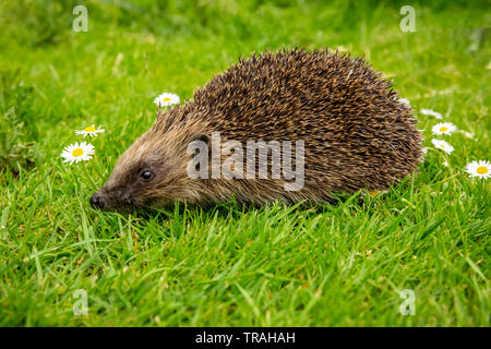 Hedgehog, wild, native, European hedgehog in natural garden habitat with green grass and white daisies. Facing left. Close up.Blurred green background - Stock Photo