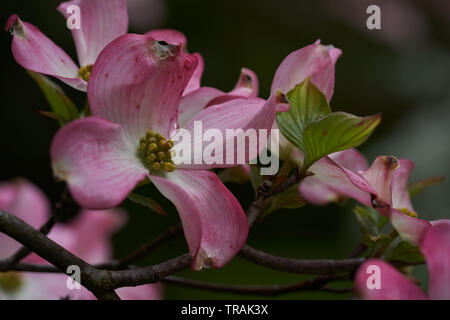 Pink and white Magnolia blossom on a branch on a tree - Stock Photo
