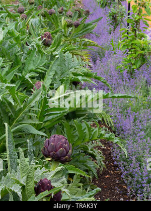 Globe artichoke or Cardoon Thistle Cynara cardunculus flower bud before opening with catmint border - Stock Photo