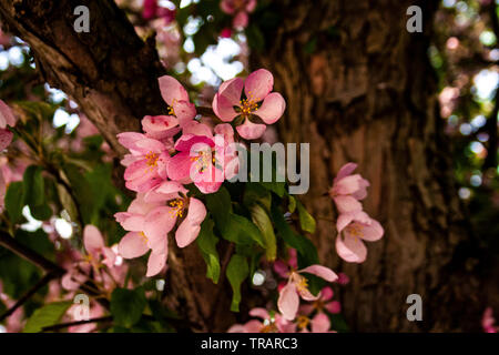 Close-up of pink flowers blooming in the spring - Stock Photo