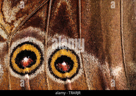 Detailed closeup of a morpho butterfly (Morpho peleides) wing. - Stock Photo