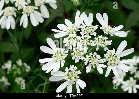 Orlaya grandiflora White lace flowers - Stock Photo