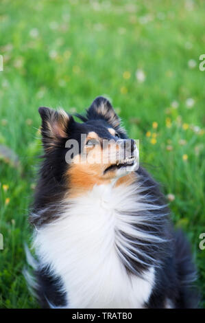 Shetland sheepdog in the meadow. - Stock Photo