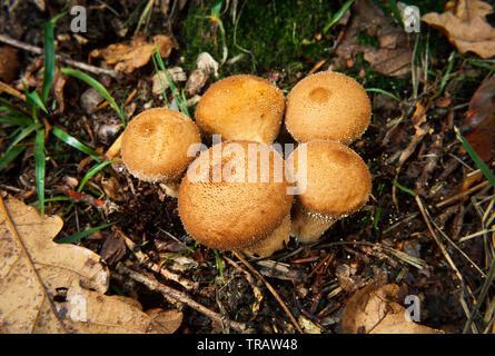 Lycoperdon perlatum, popularly known as the common puffball - Stock Photo