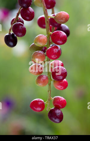 Colourful berries of the Prunus Laurocerasus or Cherry Laurel - Stock Photo