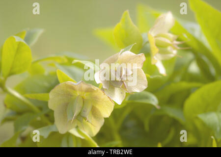 Corsican hellebore (Helleborus argutifolius) flowers. Green flowers of perennial plant in buttercup family. Common names: Winter rose, Christmas rose - Stock Photo