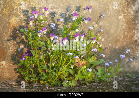 Beautiful pansy summer flowers in garden on wall background - Stock Photo