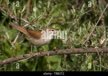 Stunning bird photo. Cetti's warbler / Cettia cetti