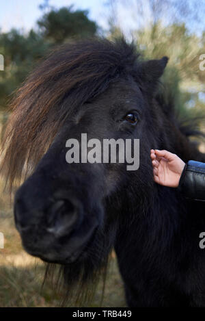 Young Asian girl touching and stroking wild horses outside in nature in summer sunshine - Stock Photo