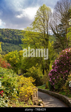 Northern Ireland, Co Down, Bryansford, Tollymore Forest Park, path through flowering rhododendron towards Shimna River Path - Stock Photo