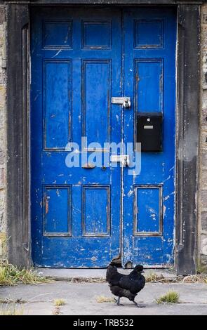 Free range hens and a blue door - Stock Photo