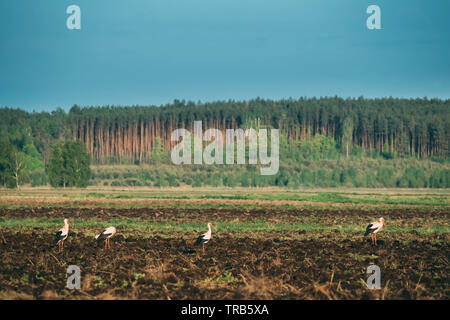 Group Of Adult European White Storks Ciconia Ciconia Standing In Field In Belarus. Wild Field Birds. - Stock Photo