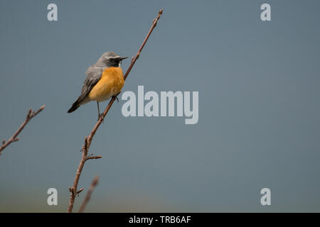Stunning bird photo. White-throated robin (Irania gutturalis). - Stock Photo