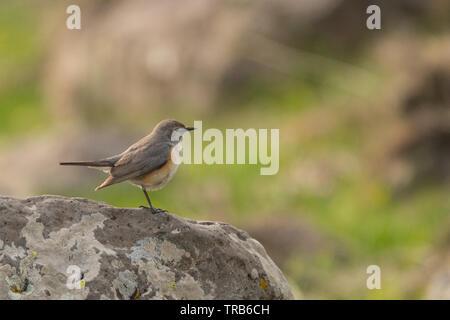 Stunning bird photo. White-throated robin (Irania gutturalis). - Stock Photo