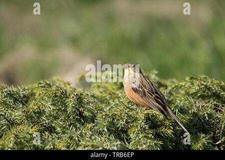Stunning bird photo. Ortolan bunting / Emberiza hortulana - Stock Photo